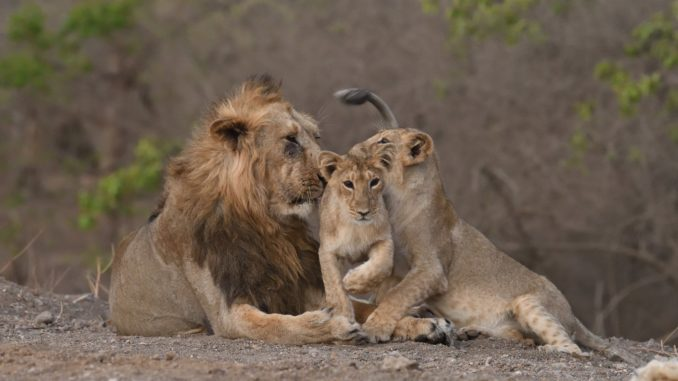 PM expresses happiness over increasing population of the majestic Asiatic Lion