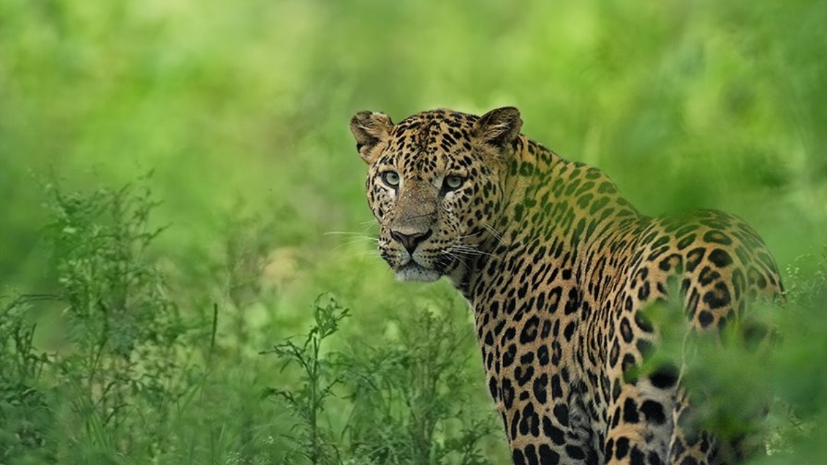 PM expresses happiness over increasing population of Leopard-India press release