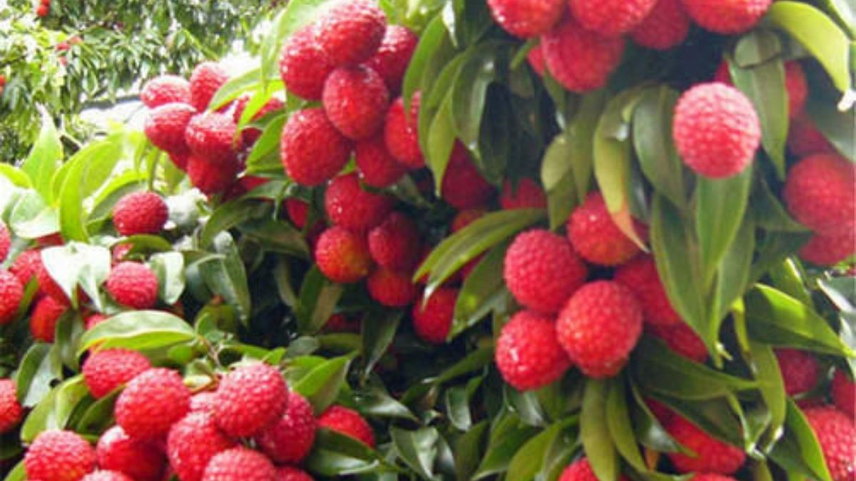The first consignment of GI certified Shahi Litchi from Bihar exported to the U.K
