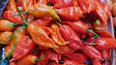 King Chilli 'Raja Mircha' from Nagaland exported to London for the first time