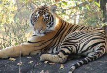 PM greets wildlife lovers on International Tiger Day