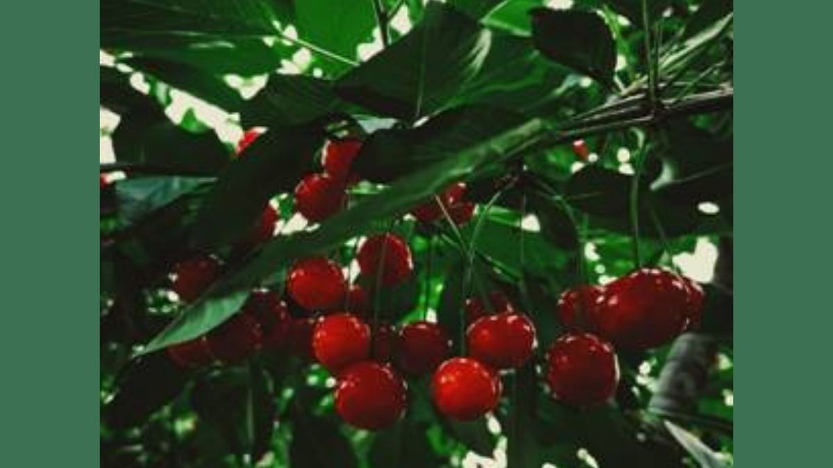 First commercial shipment of Mishri variety of cherries from Kashmir exported to Dubai