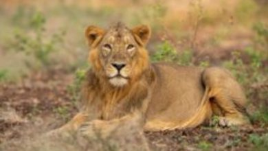 PM greets all those passionate about lion conservation on World Lion Day